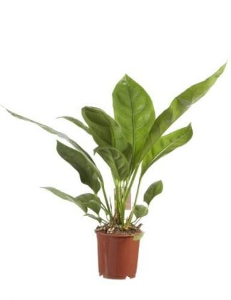 plant anthurium jungle king