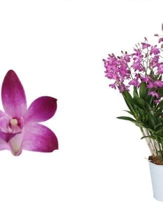 orchidee dendrobium berry oda