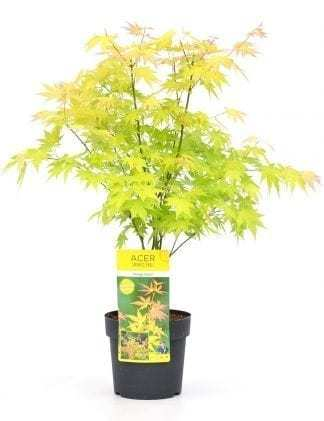 tuinplant acer orange dream
