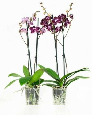 Orchideeplant Chien Xen Pearl