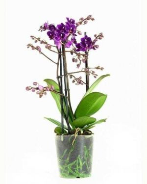 Orchidee Phalaenopsis Little Purple