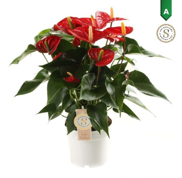 Anthurium Red Champion kopen