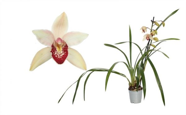 Orchidee Cymbidium Shirley.