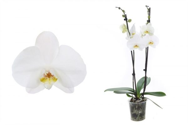 Orchidee Phalaenopsis Dame Blanche