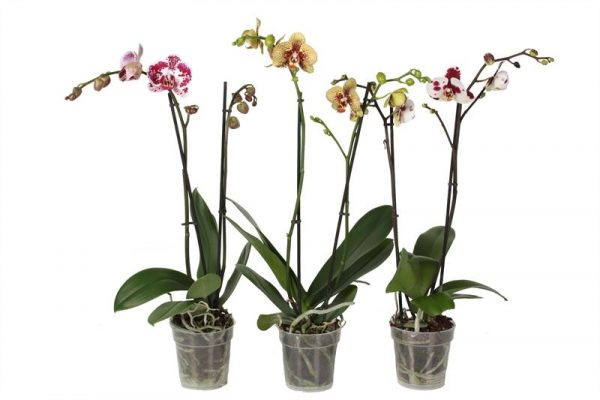 Orchidee Phalaenopsis Special Mix